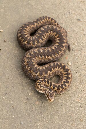Brown female of Common European Adder, Vipera berus, lying on a dirt road, bird perspective, looking down.