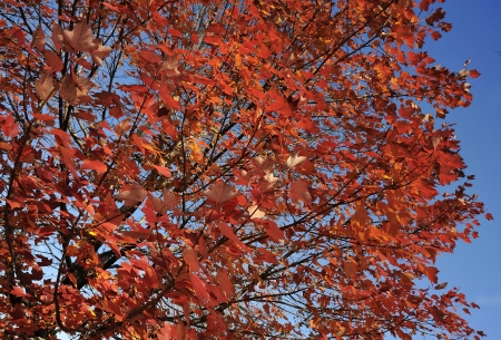 On contrast between the maple leaves and the deep blue sky photo