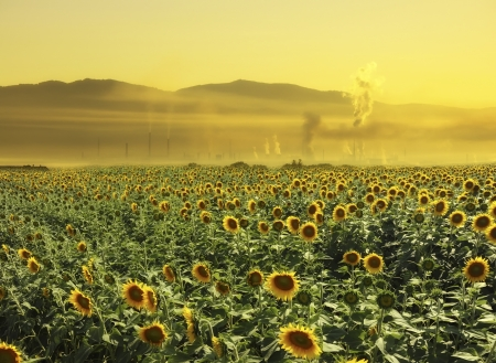 A field of sunflowers near a polluting factory creates surreal atmosphere