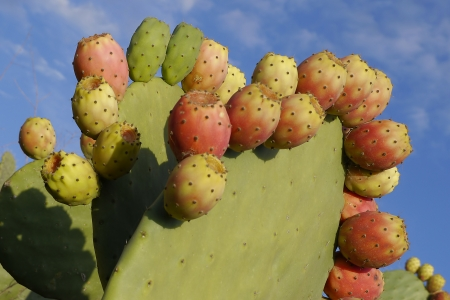 A bunch of red prickly pears Stock Photo