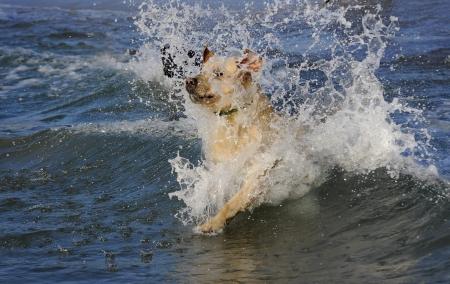Labrador dog rescue during a training exercise