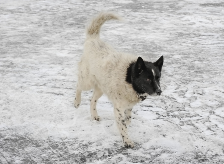 White dog with black head walking on ice