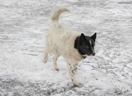 White dog with black head walking on ice