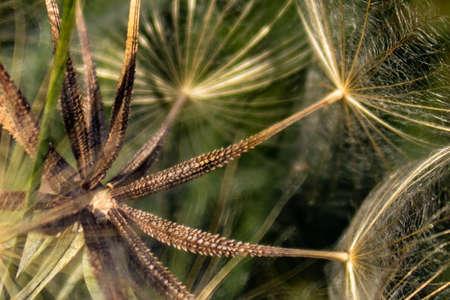 Spiky dandelion seeds macro, full frame. Floral background