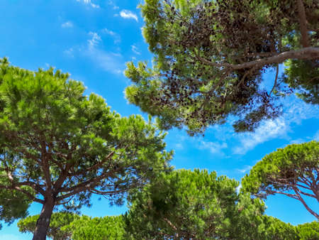 Green pine trees and blue sky in summer in Italy, low angle view. Tranquil mediterranean nature scene with pine woodland