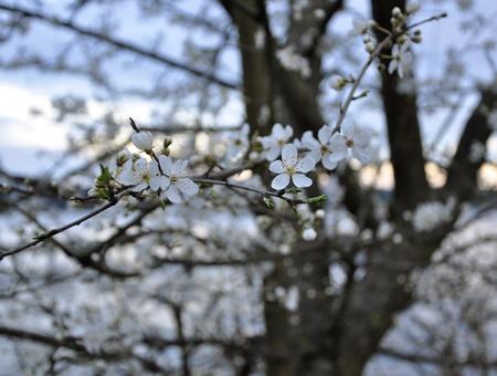 Cerisier fleurs Banque d'images - 12632675
