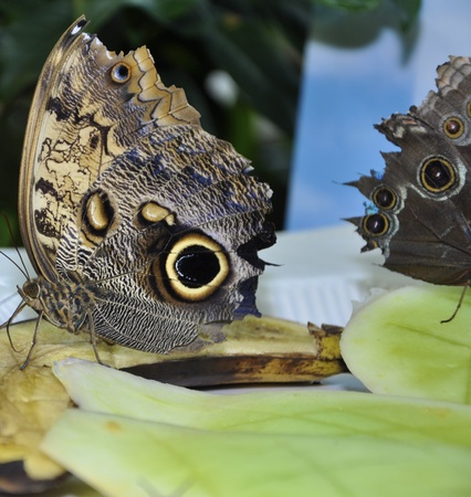 Parthenos Sylvia Clipper Butterfly eating banana  photo