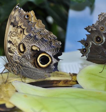 Parthenos Sylvia Clipper Butterfly eating banana Stock Photo - 12786137