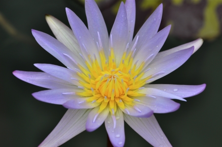 hydrophyte: Water Lily Flower