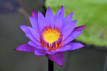 Water Lily Flower Archivio Fotografico - 14335181