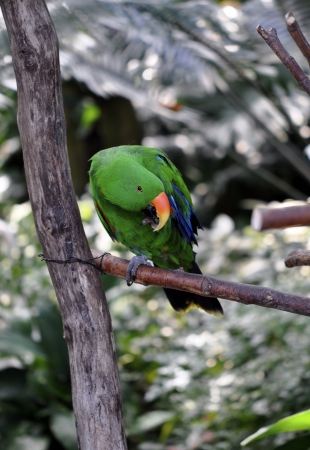 polly: Detailed image of Eclectus Parrot male sitting on the tree branch