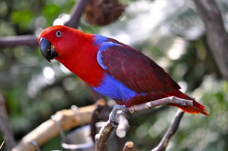 polly: Detailed image of Eclectus Parrot Female sitting on the tree branch