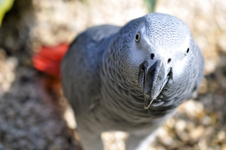 polly: Detailed image of African Grey parrot s head
