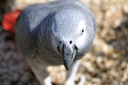 Detailed image of African Grey parrot s head  photo