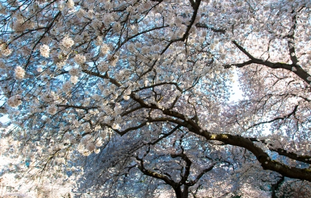 Cherry tree flowers in blossom Spring time