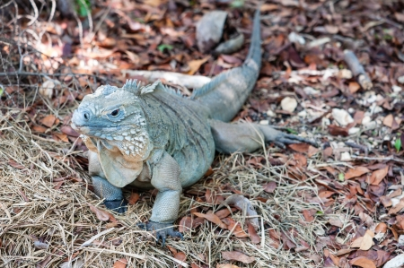 A rare blue iguana found only in the Cayman Islands in the Caribbean photo