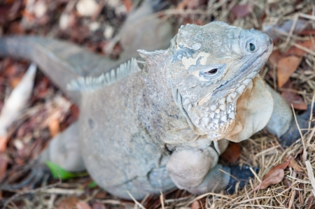 A rare blue iguana found only in the Cayman Islands in the Caribbean