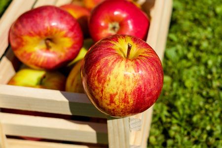 Rote Äpfel ernten