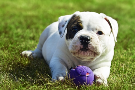 Small american bulldog playing with a ball