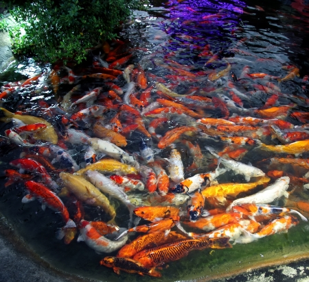 coy fish: Koi fish in the pond in Thainland Stock Photo