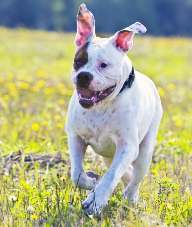 Happy american bulldog running in the meadow photo