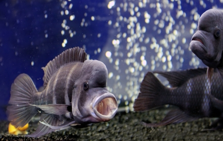 Cichlid from Lake Tanganyika in East Africa photo