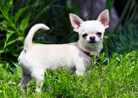 Chiuahua male puppy in the grass
