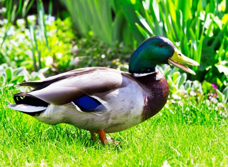 color image mallard duck: beautiful drake on the grass on a summer day
