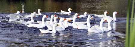 Floating ducks on the pond Stock Photo - 16041100