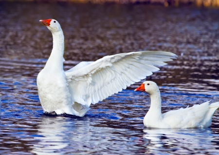 White duck taking wing on the pond Stock Photo - 16041183