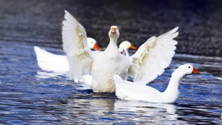 White duck taking wing on the pond Stock Photo - 16041172