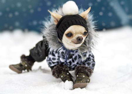 Chihuahua in hat, coat and shoes standing on the snow