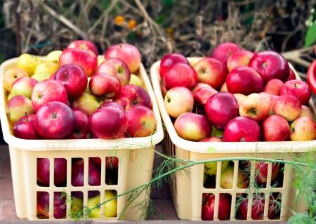 Foto van twee dozen met appels in kas.
