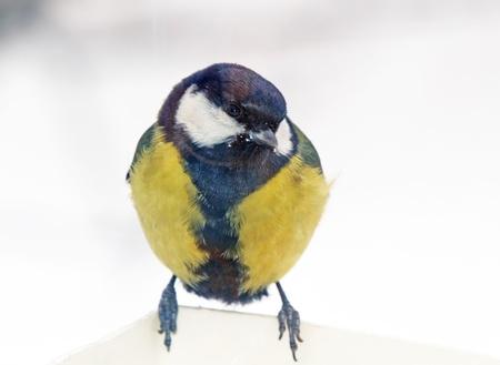 tomtit: Tomtit sitting on bird