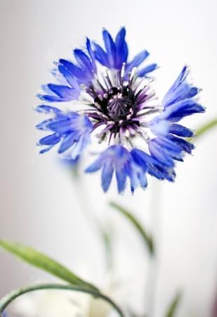 vertical close-up picture of  blue cornflower