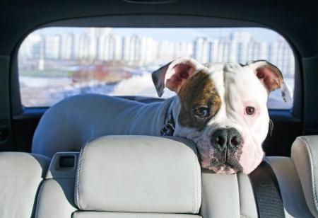 asiento: Blanco dog americano enjoing viaje en el cami�n coche