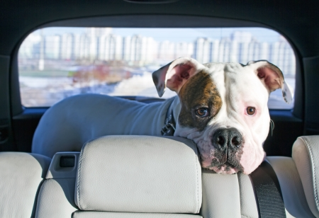 spotted dog: White american dog enjoing trip in the car truck Stock Photo