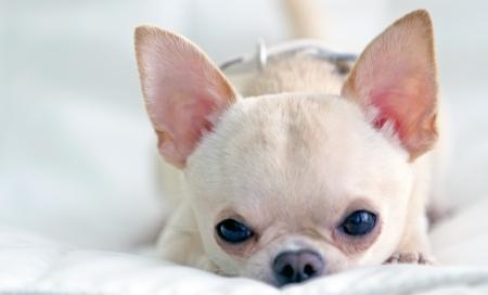 Cute small chichuahua hanig rest
