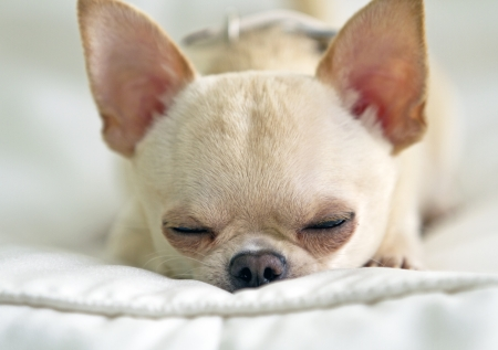 Close up picture of sleeping chichuahua