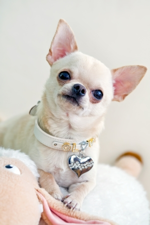 picture of cute and curious chihuahua . photo
