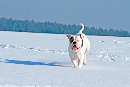 dog running in the field on a winter day photo