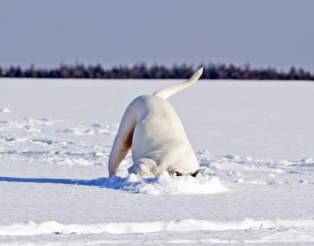 american bulldog search for something interesting under snow photo