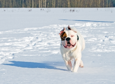 american bulldog walking in snow photo