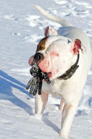 american bulldog playing with glove on a winter day photo