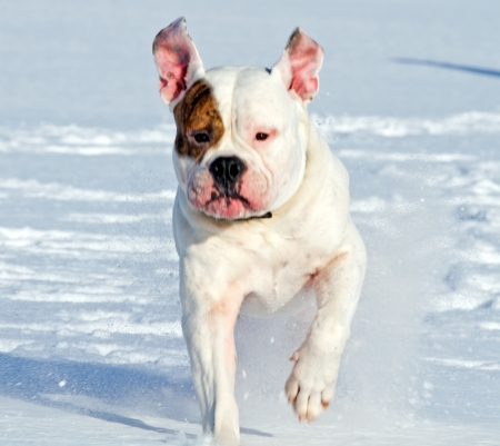 spotted american bulldog running on the snow photo
