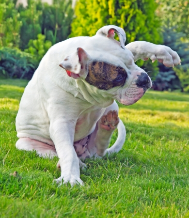 american bulldog scratching on the grass