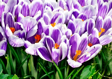 flowerbed with crocuses photo