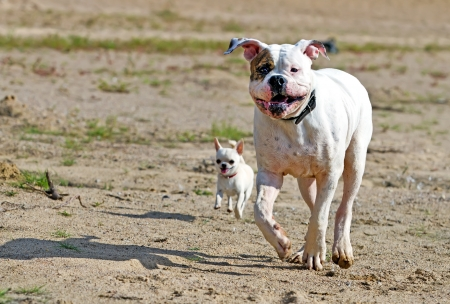 chihuahua desert: two dogs having good time outdoors