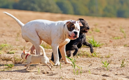 chihuahua desert: three dogs playing togrther and chasing each other Stock Photo