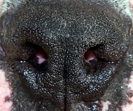 dog nose: naso del quadro macro cane Archivio Fotografico